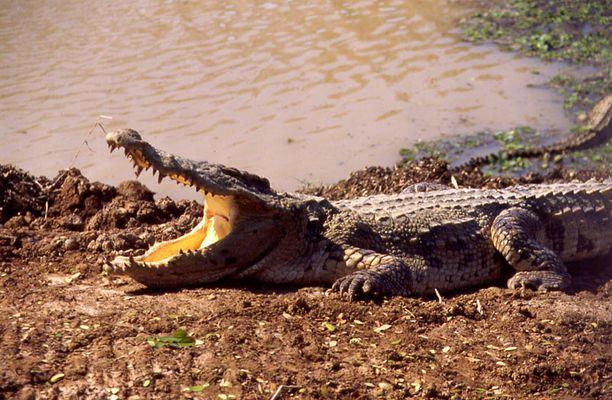 Siamesisches Krokodil
