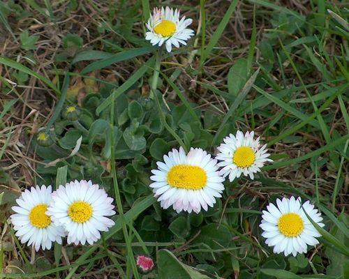 Siamnesisches Gänseblümchen
