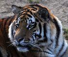 sib. Tiger