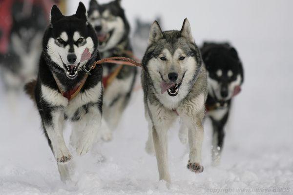 Siberian Huskies - pure breed