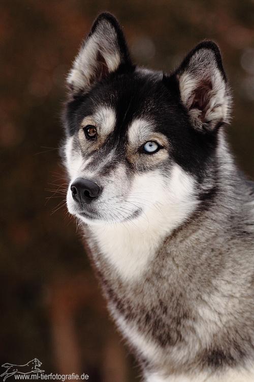 Siberian Husky Aletta