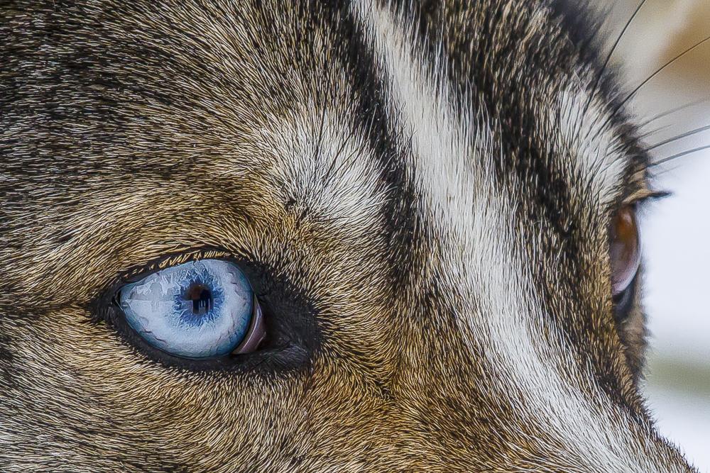 Siberian Husky mit Augenspiegel - Finnland