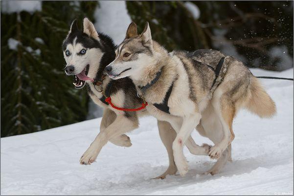 Siberian Huskys