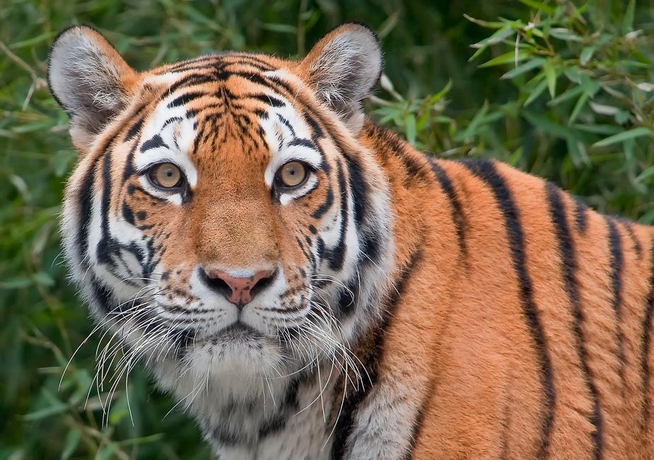 Tiger Nürnberg