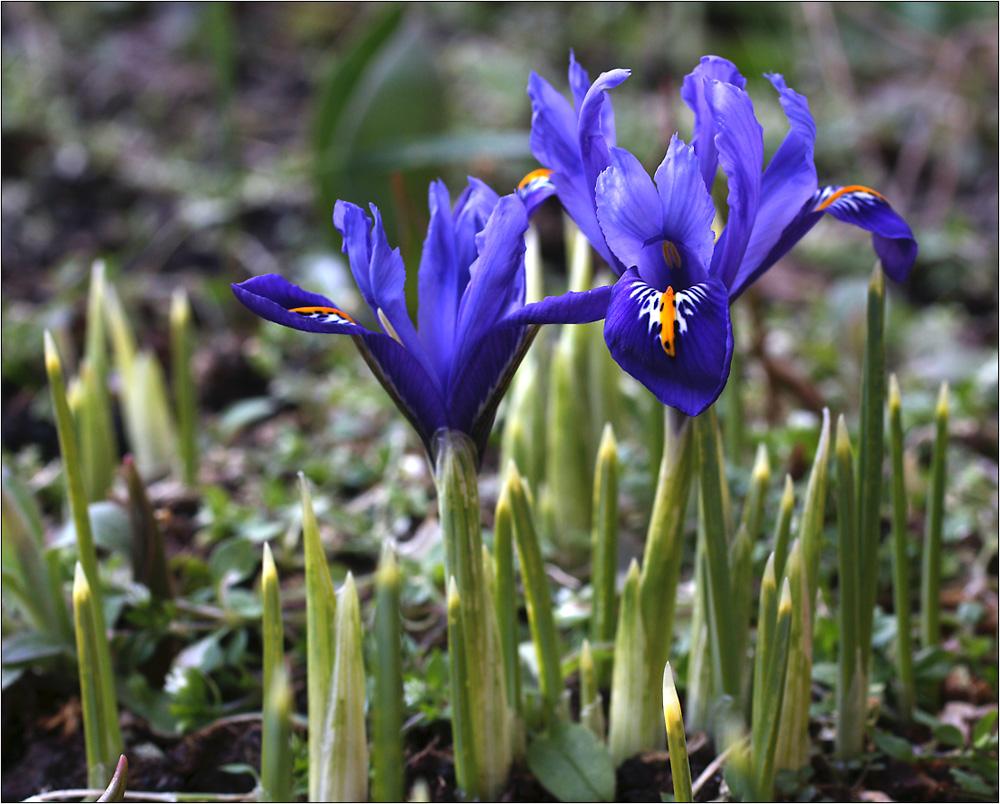 Sibirische Iris.....