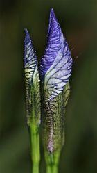 Sibirische Schwertlilie - Iris sibirica