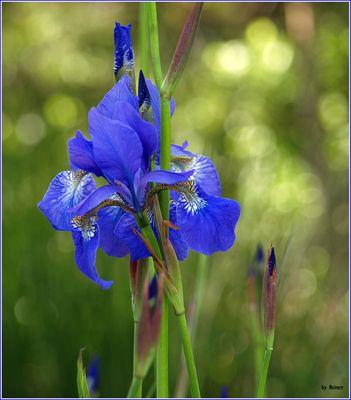 Sibirische Schwertlilie, Wieseniris (Iris sibirica)