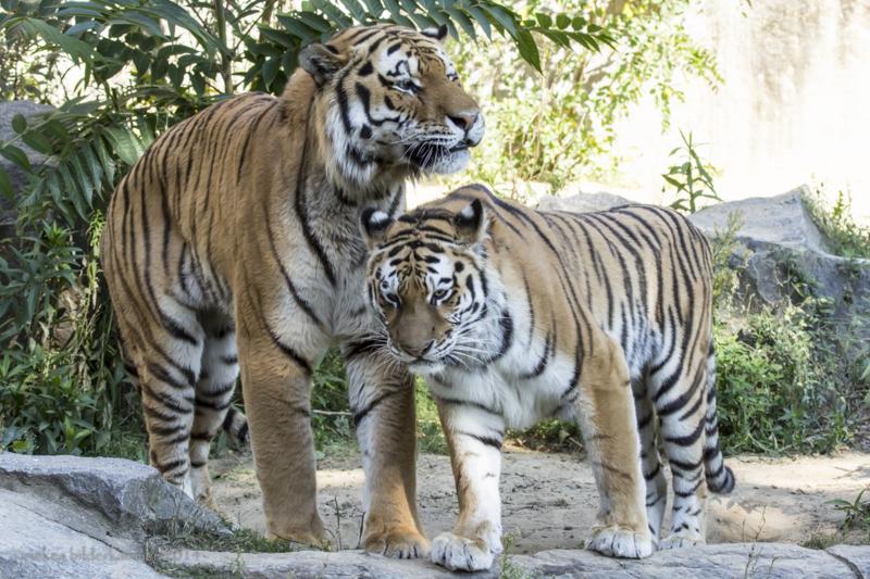 Sibirische Tiger aus dem Tierpark Berlin