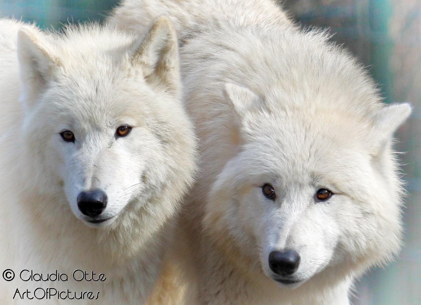 sibirische Wölfe