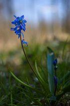 Sibirischer Blaustern...