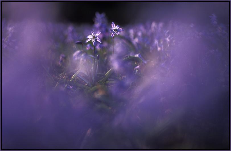 Sibirischer Blaustern.....