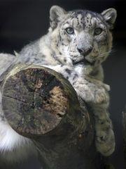 Sibirischer Schneeleopard