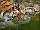 Sibirischer Tiger (1)