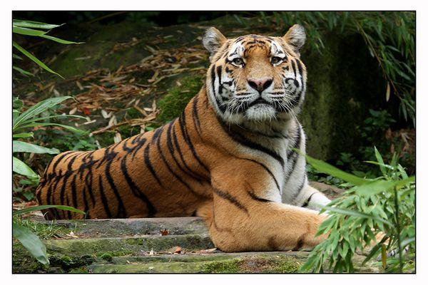 ~Sibirischer Tiger~