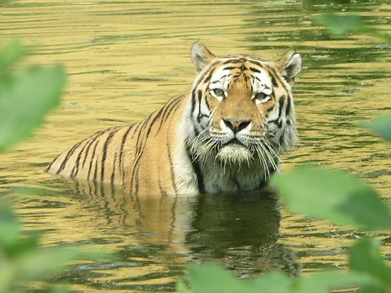 Sibirischer Tiger beim Baden