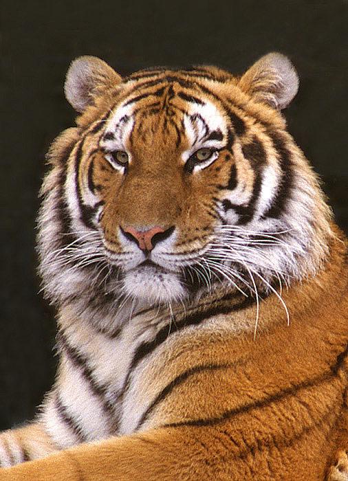 Sibirischer Tiger - Bildausschnitt