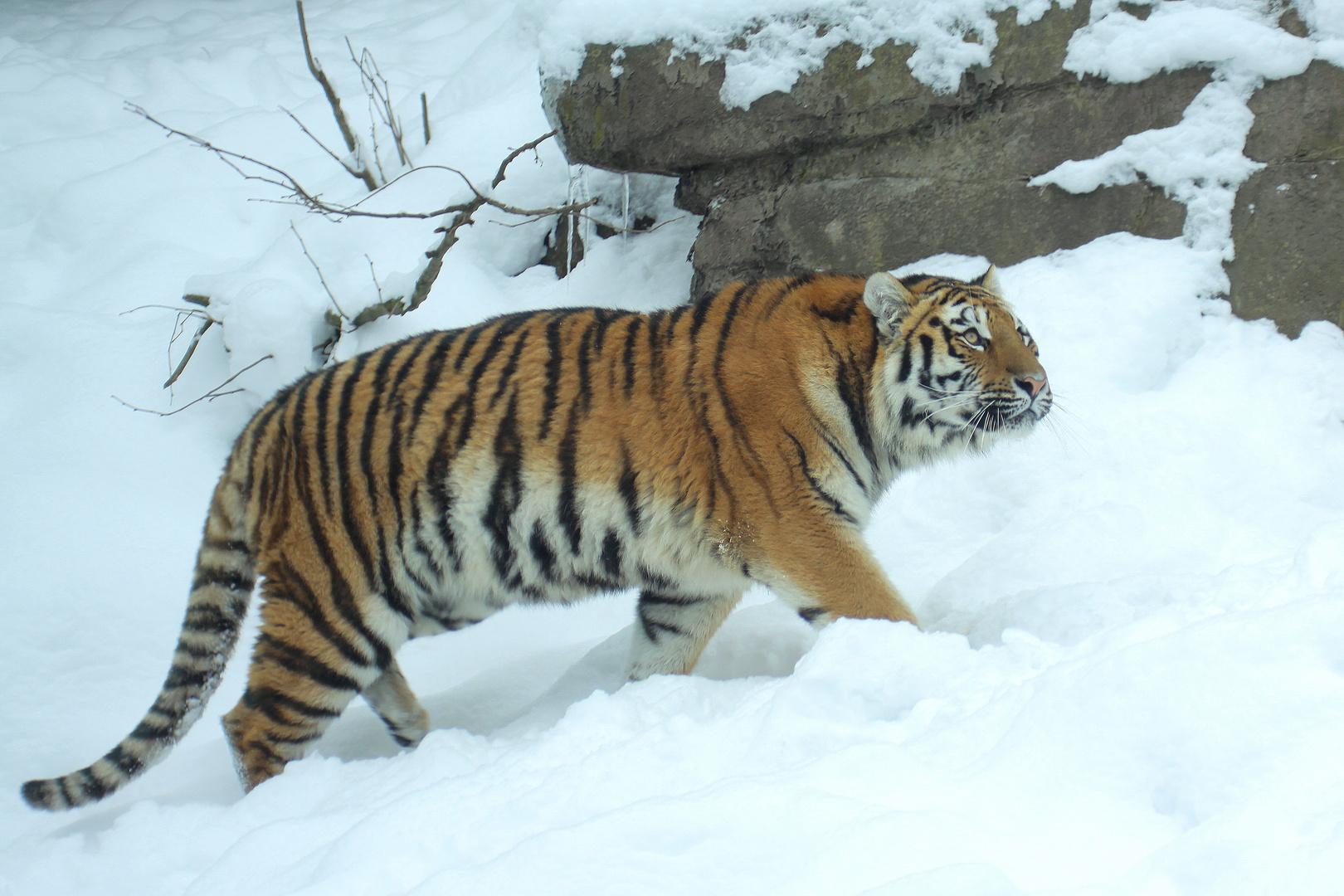 Sibirischer Tiger II