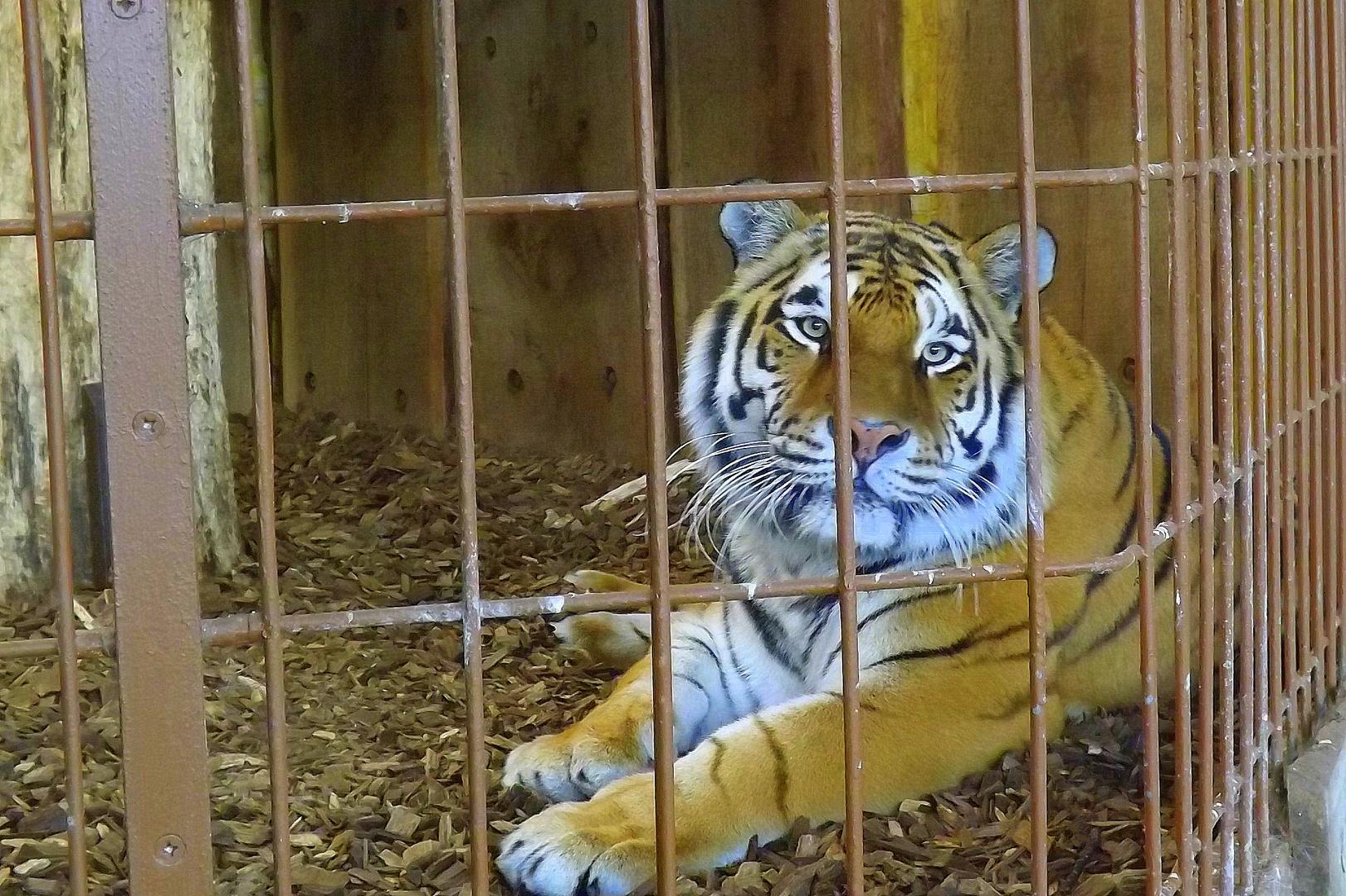 Sibirischer Tiger im Allwetterzoo Münster