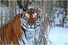 Sibirischer Tiger im Schnee