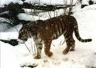 Sibirischer Tiger im Zoo Köln