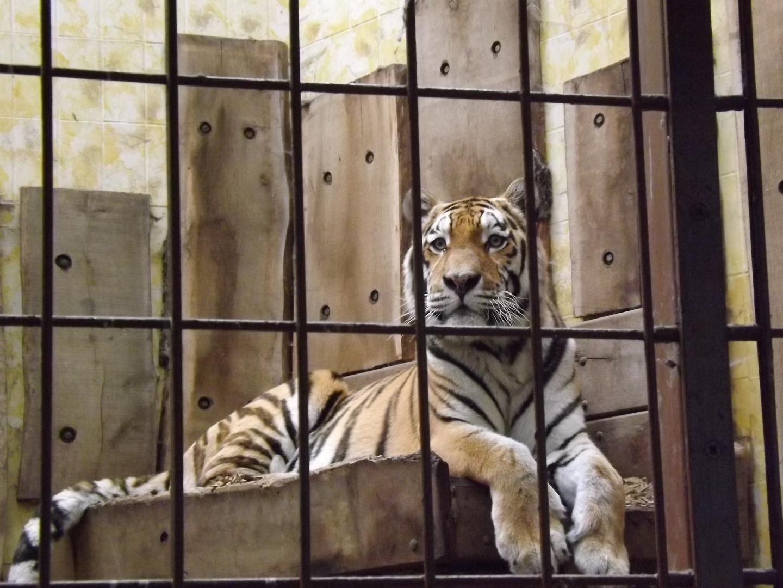 Sibirischer Tiger Sep. 2013 im Allwetterzoo Münster