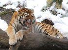 Sibirischer Tiger V