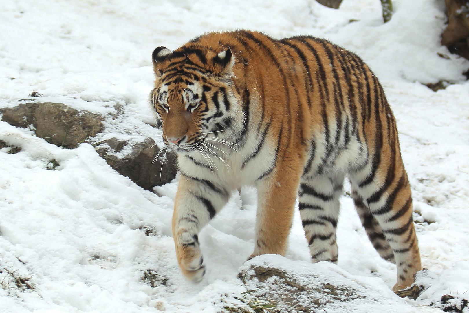 Sibirischer Tiger VI