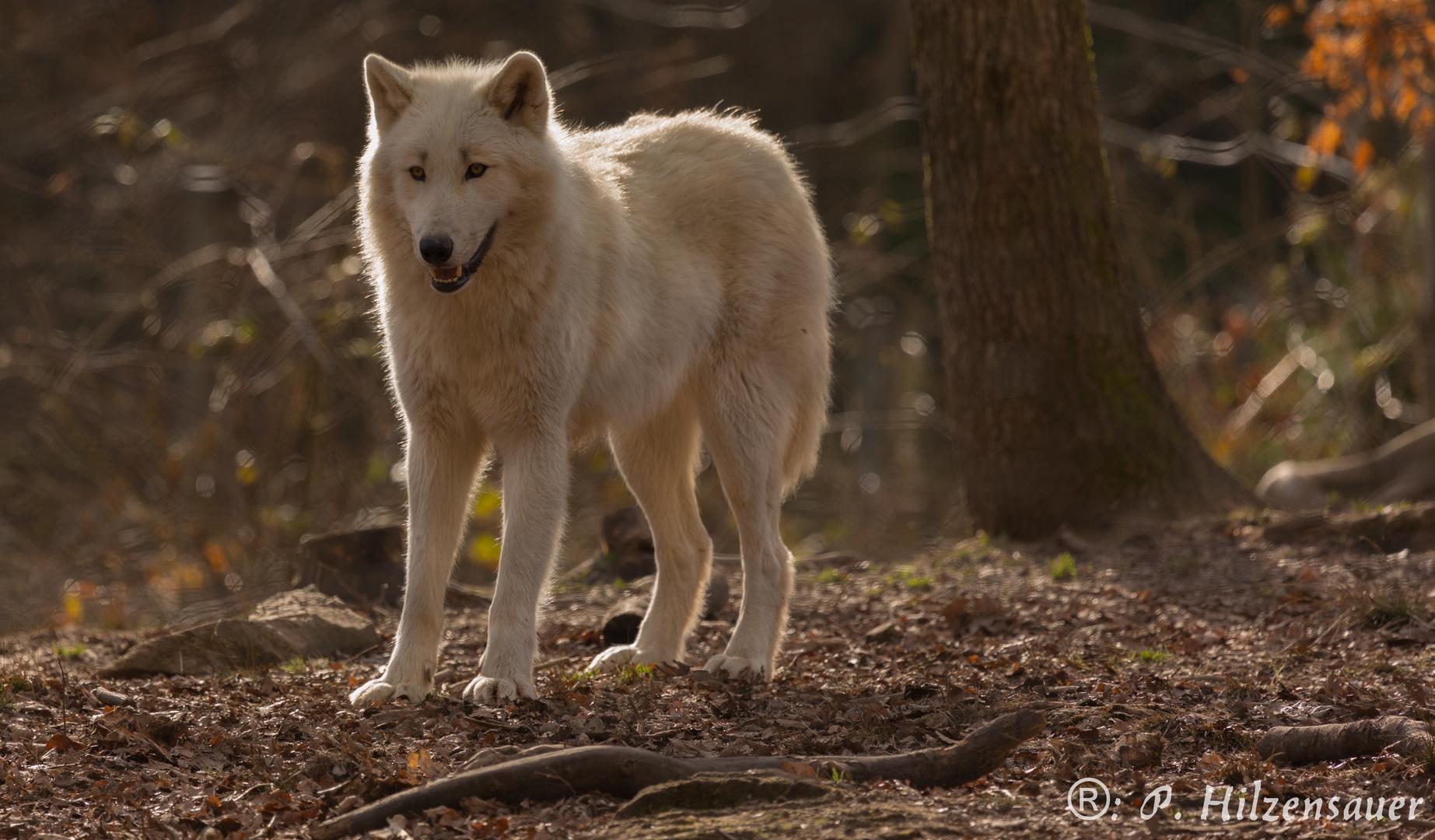 Sibirischer Wolf