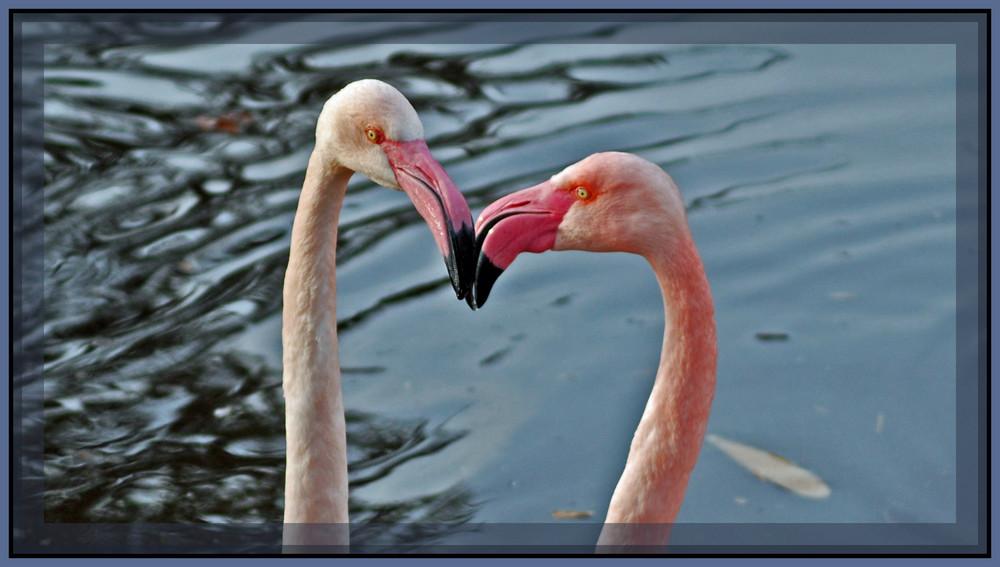 Sich liebende Flamingos