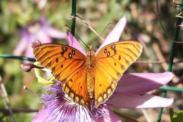 Sich sonnender Schmetterling 2