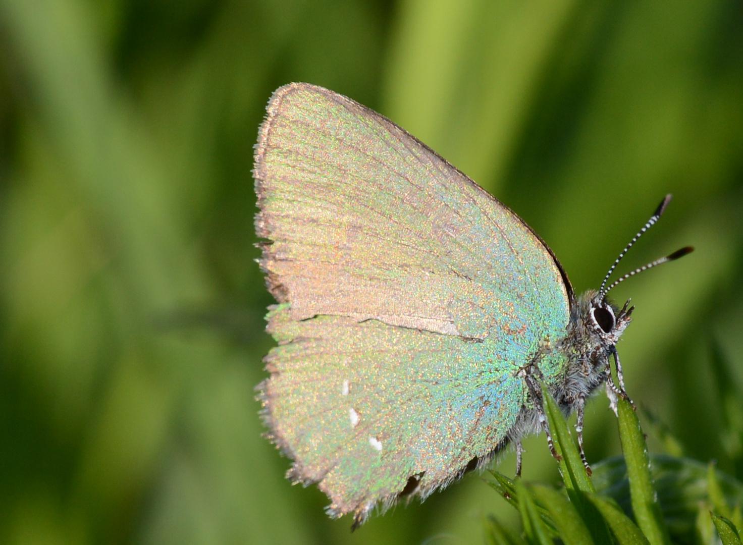 sich sonnender Schmetterling