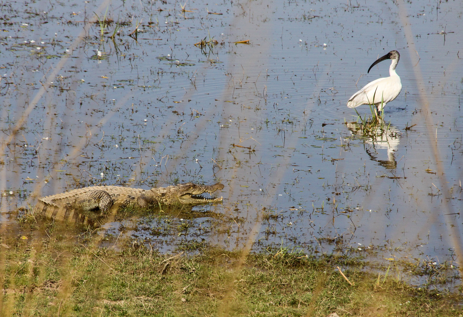 Sichler trifft Krokodil