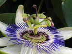 Sicht in Passionsblume
