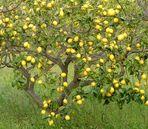 Sicilian lemons : 90 % of the italian production