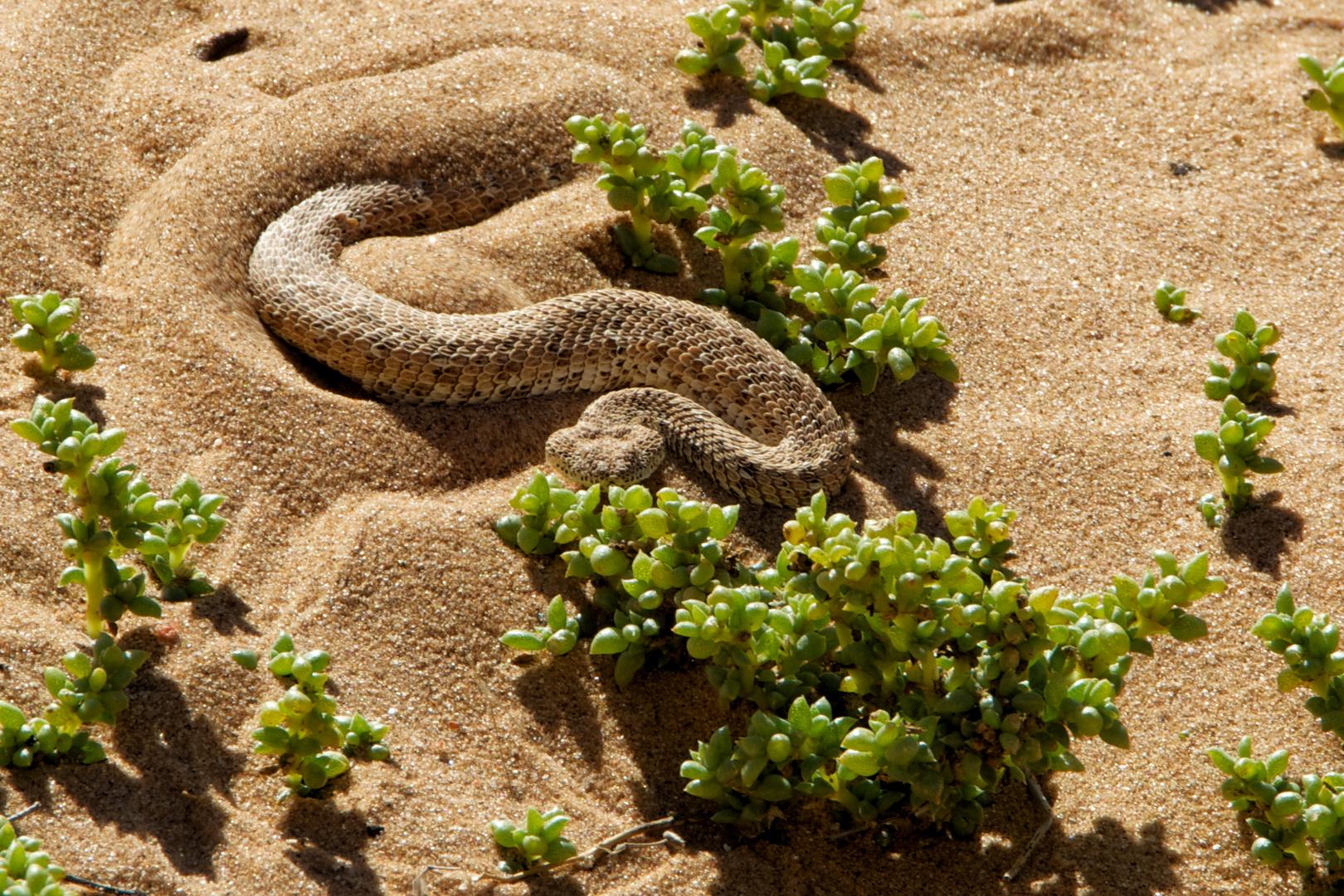 """Sidewinder Snake (""""Sand bunker"""")"""
