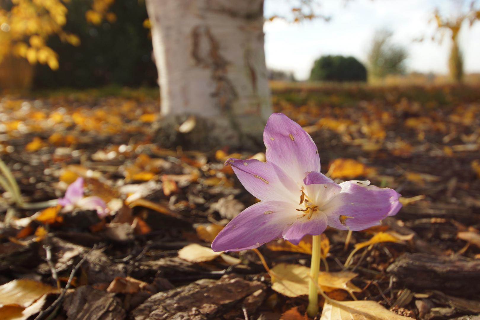 Sie erscheint - und mit ihr der Herbst