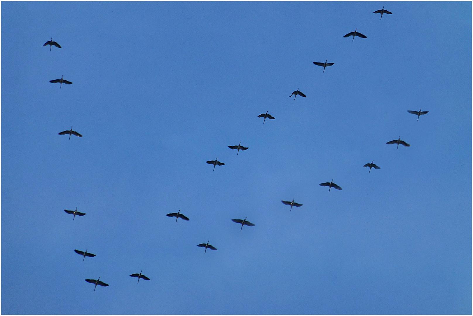 Sie fliegen wieder nach Norden, die Kraniche