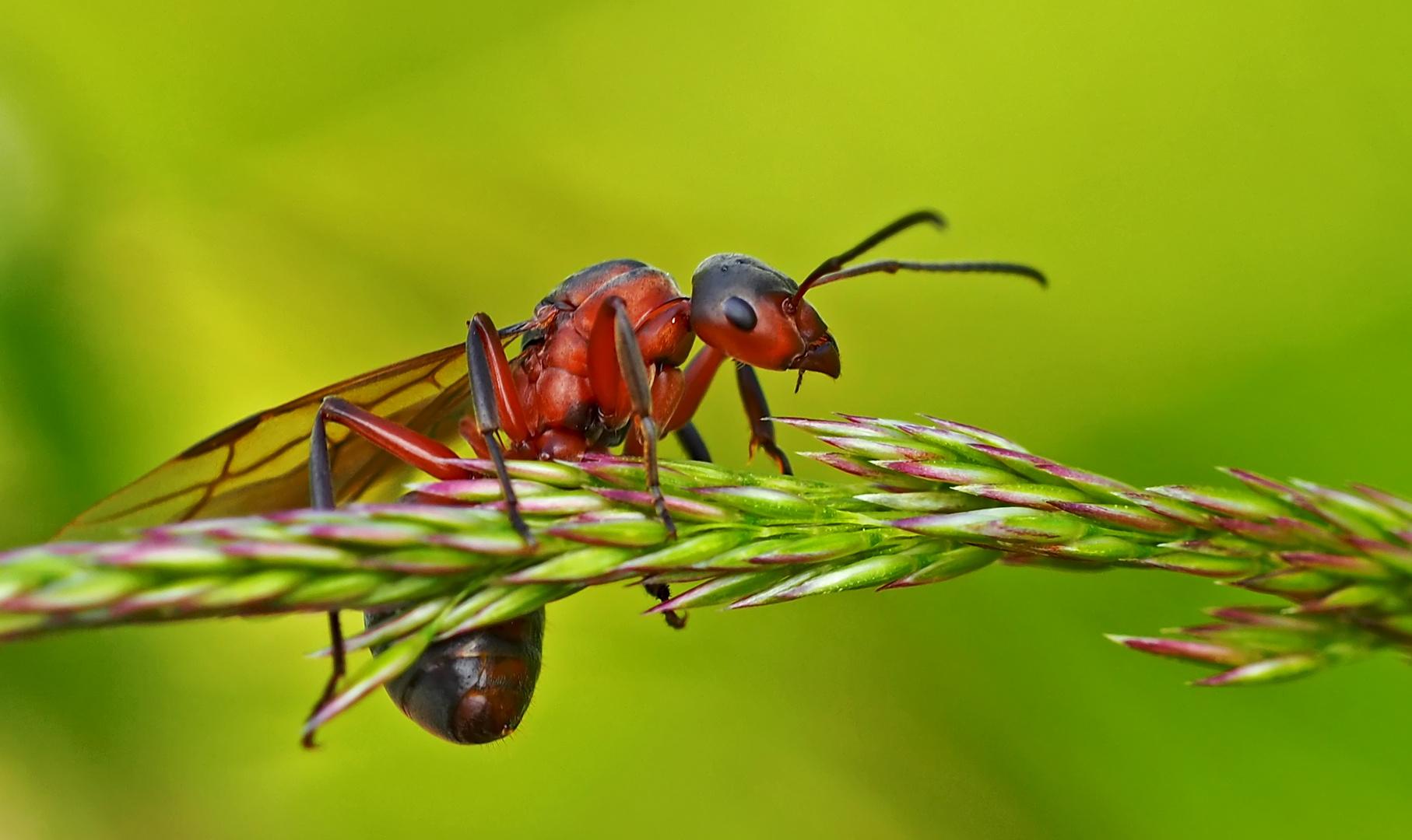sie geniesst die tolle aussicht rote waldameise formica rufa fourmi rousse des bois foto. Black Bedroom Furniture Sets. Home Design Ideas