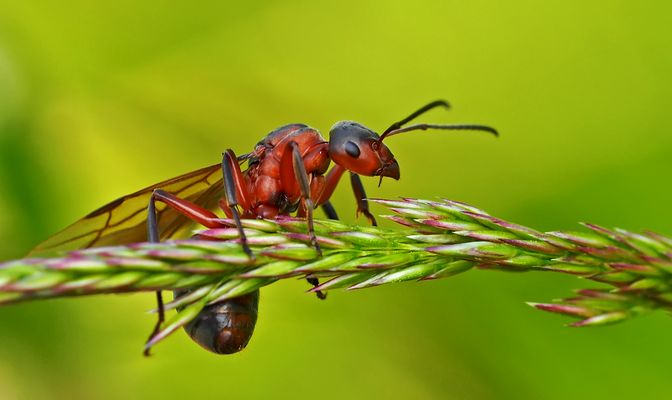 Sie geniesst die tolle Aussicht: Rote Waldameise (Formica rufa) - Fourmi rousse des bois.