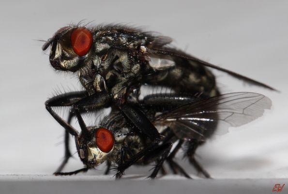sie machen die Fliege...