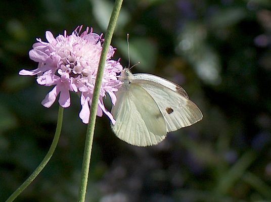sie sind einfach wunderschön diese Schmetterlinge