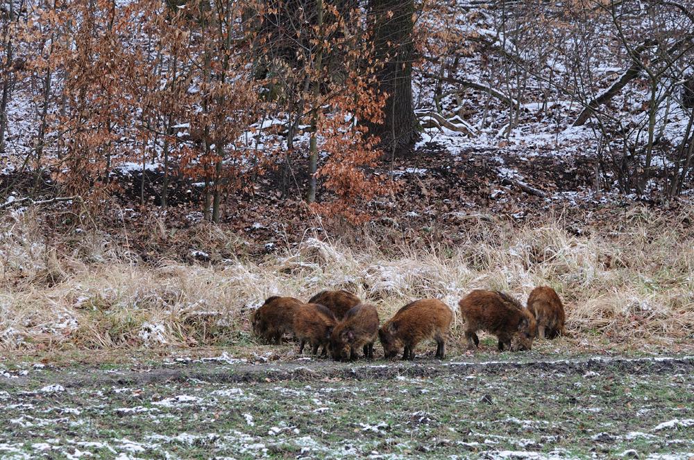 Sieben lustige Schweine