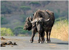 Siebenbeiniger Janusbüffel (sehr selten)