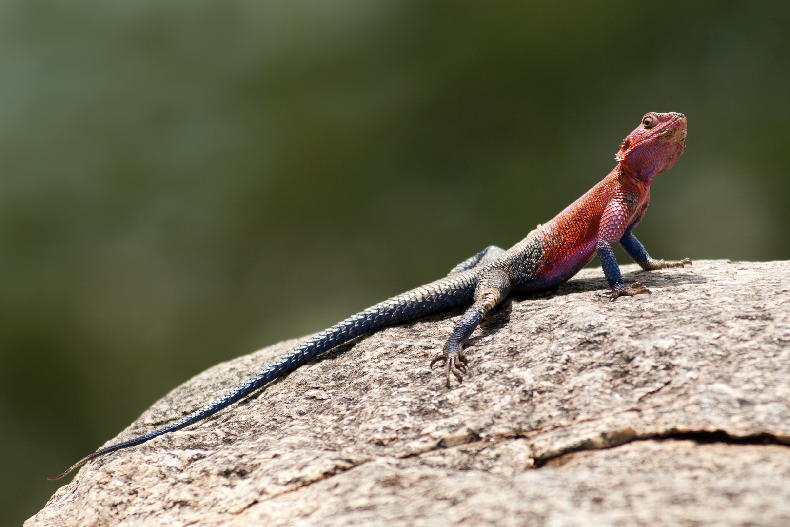 Siedleragame - Serengeti Tansania