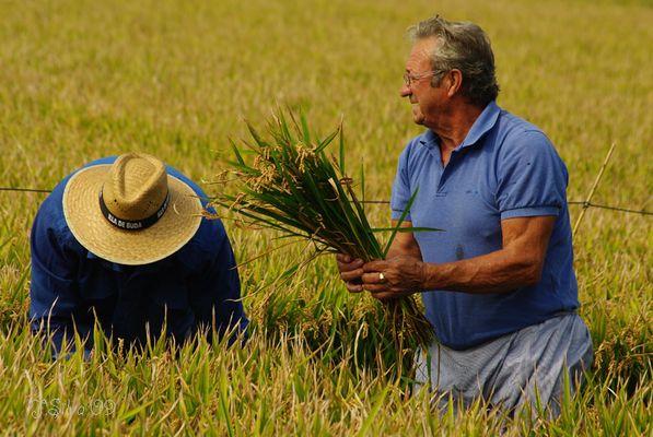 Siega del arroz II