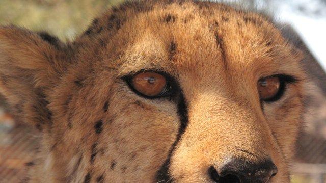 Sieh mir in die Augen Gepard