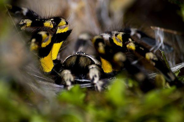Sieh mir in die Augen, Tarantula!