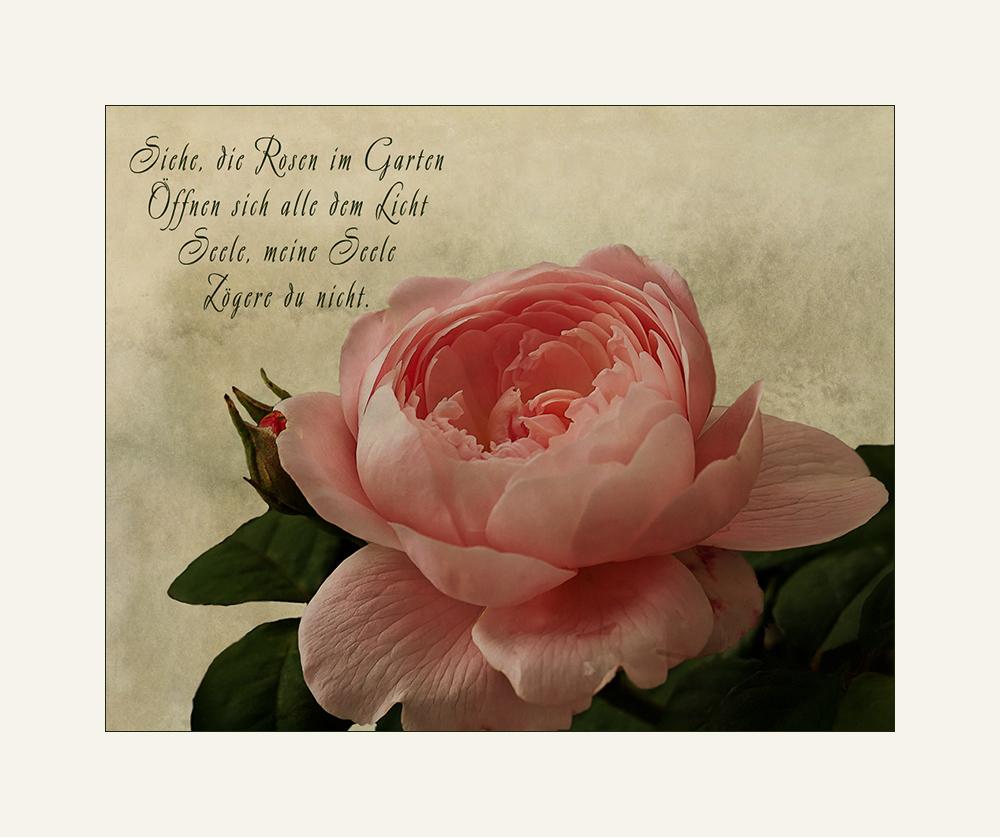 Siehe, die Rosen im