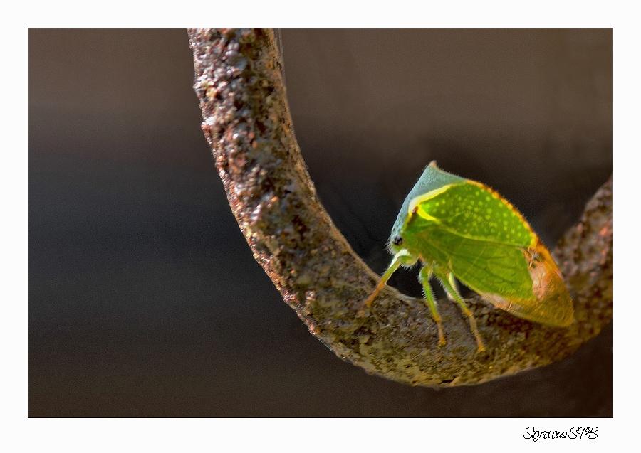 sieht aus wie ein blatt ist aber ein insekt foto bild tiere tierdetails insekten bilder. Black Bedroom Furniture Sets. Home Design Ideas