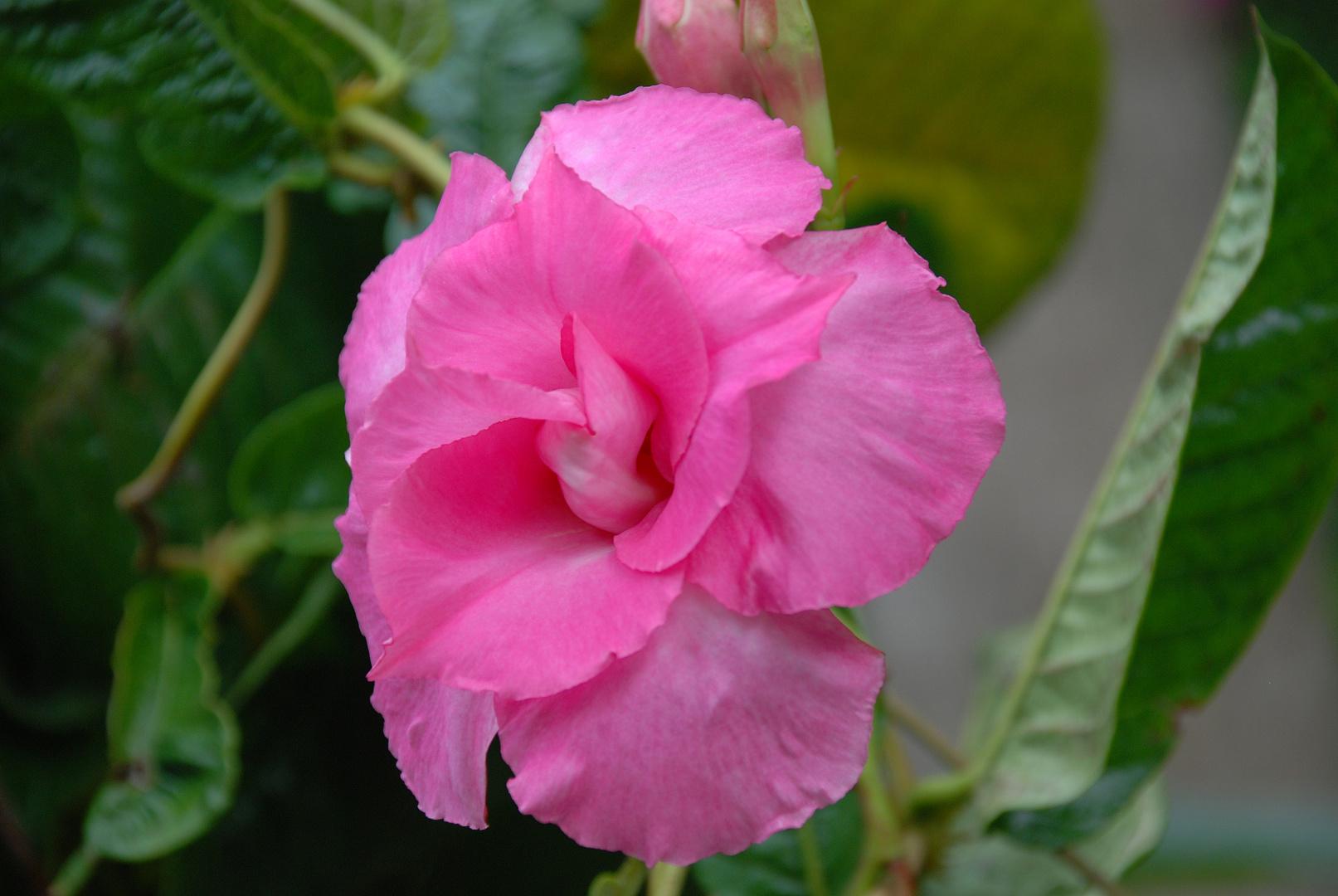 Sieht aus wie eine Rose, isser aber glaube nicht